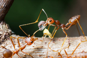 fire ant control