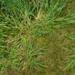 fall pre-emergent weed control