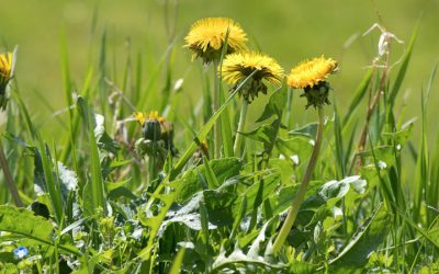 Prevent Winter Weeds with Fall Pre-Emergent Weed Control