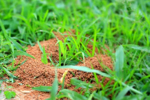 fire ant pest control