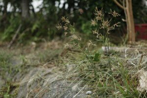 Controlling Nutsedge in Your Lawn