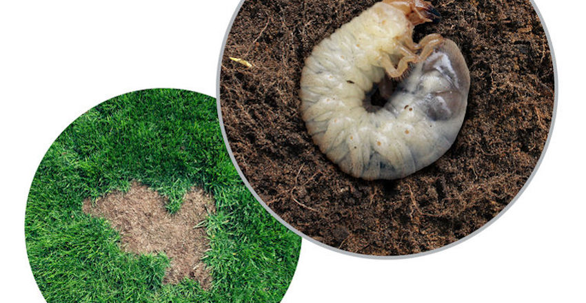 What Is Spring Grub Treatment and When Should It Be Done?