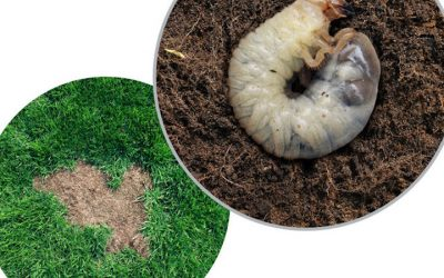 4 Things That Happen During Treatment for Grubs
